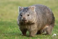 foto Woombat