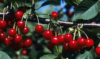 Krize v sadech. Ovocnáři hlásí o pětinu nižší sklizeň
