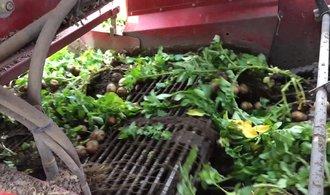 Na rané brambory vyjela těžká technika. Podívejte se