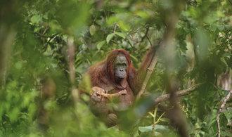 Snímek orangutaní matky s umírajícím potomkem vyhrál soutěž o fotografii roku