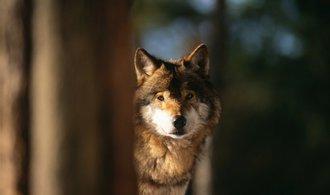 Vědci zjistili, že vlci upravili své teritoriální návyky