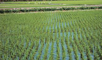 Američané do Číny začnou dovážet rýži, jedná se o známku zlepšování vzájemných vztahů