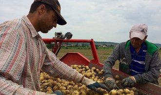 """Sucho a vedro """"vyhnalo"""" techniku na pole o týden dříve. Podívejte se, jak probíhá sklizeň brambor"""