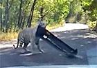 Video: Tygři jsou hraví, ale nepůjčujte jim své auto